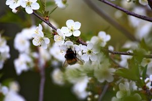 Wildbiene an Blüte